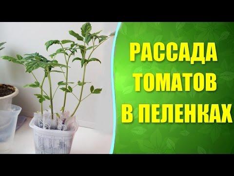 Посадка рассады помидор в пеленку 90