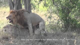 STAFA REISEN Video: Paarung der Löwen, Masai Mara