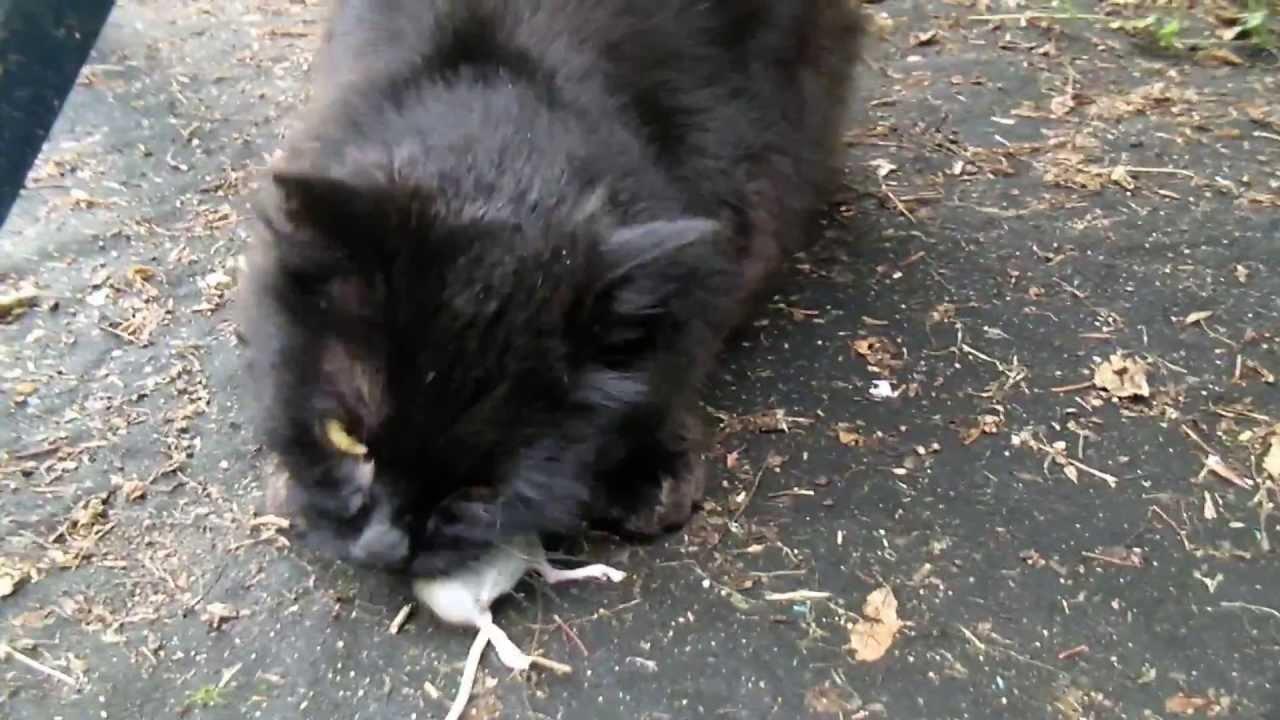cat kill and eat mouse katze erlegt und frisst maus youtube. Black Bedroom Furniture Sets. Home Design Ideas