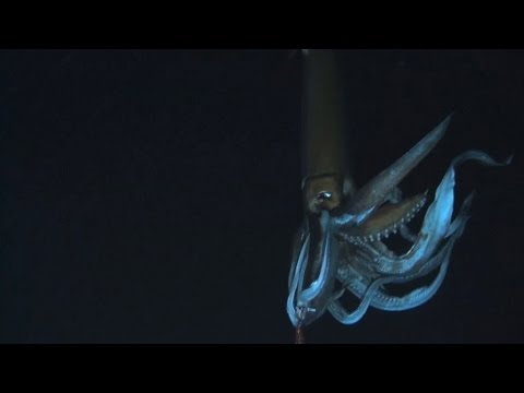 Looking for the Giant Squid | Monster Squid: The Giant is Real