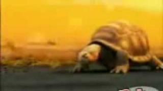 La Tortuga Brahma; ElRellano.com