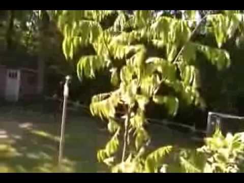 Starfruit tree (carambola) tree from seed 12 feet tall in 1 1/2 years!