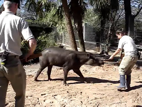 Collecting footprints from lowland tapir (Tapirus terrestris)