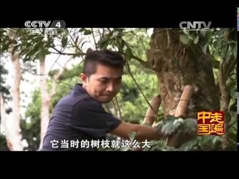 中國-走遍中國-20140408 《特產新發現》(4) 天造沉香