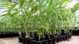 Pro-Tray Ginger Farming(अदरक की खेती प्लास्टिक ट्रे में)