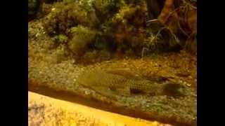 Acuario gigante de peces amazónicos