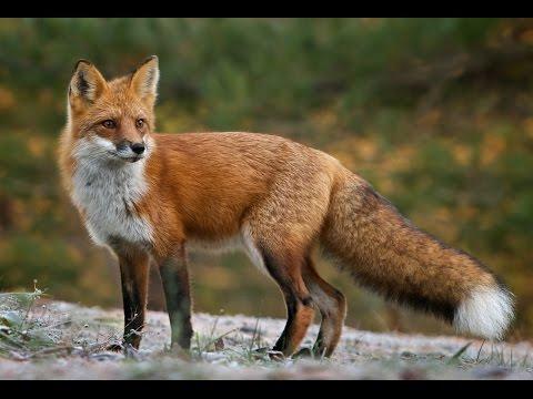 Как из дикой лисы воспитать домашнюю?