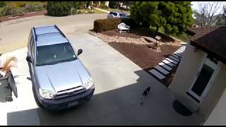 Cat Chasing A Rat In Our Front Yard