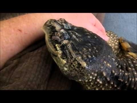 Alligator snapping turtle tank setup