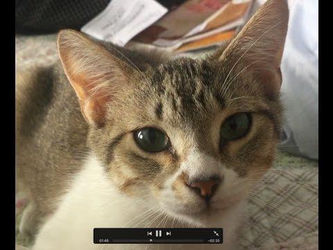 domestic cat wikipedia