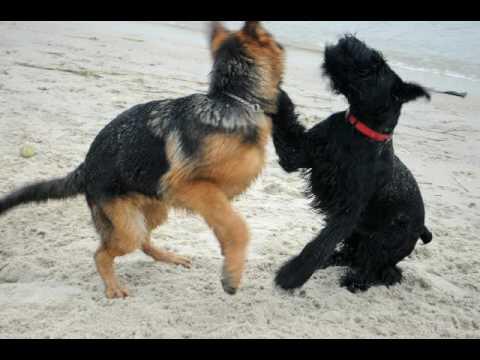 Giant Schnauzer And German Shepherd Puppies Playing Youtube