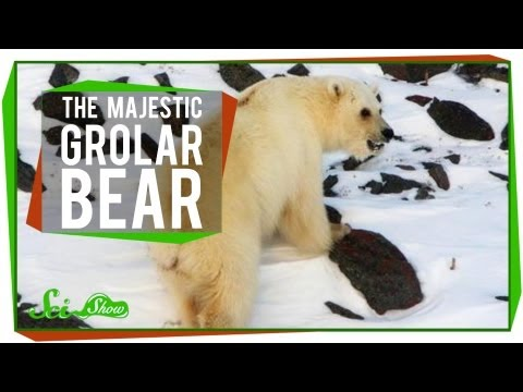 the-majestic-grolar-bear.html