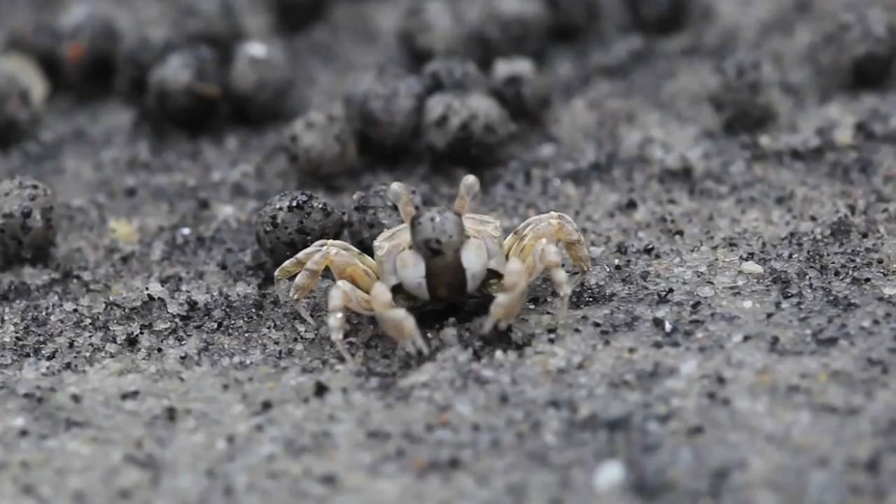 how to catch sand crabs