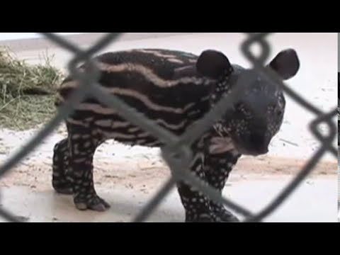 Raw: Zoo Staffers Resuscitate Newborn Tapir