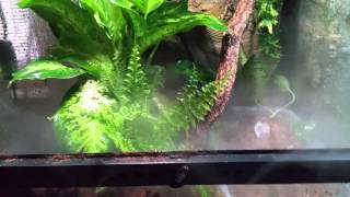 Red eyed tree frog vivarium