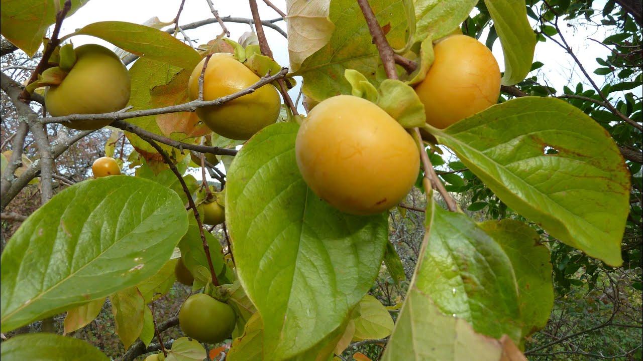Un arbre le plaqueminier un fruit le kaki youtube - Arbre a kaki nom ...