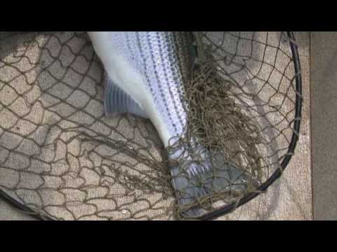 Huge Striper fish caught on Cumberland River