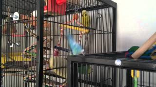 Budgies and cockatiel playing on play gym