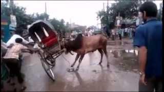 Korbanir Goru kenar Moja!!! কোরবানীর গরু