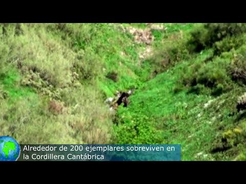 TURISMO ESPAÑA | Oso Pardo en la Cordillera Cantábrica