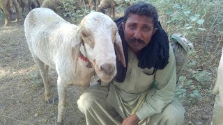 General Farmer interview sheep & goat farming in pakistan urdu/hindi goat farming in usa