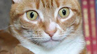 猫の貯金箱に超絶ガン見する猫が可愛すぎる