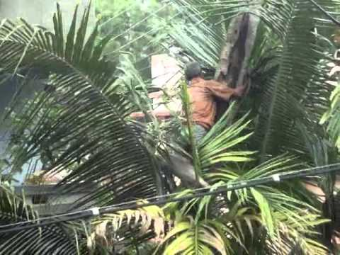 How to climb on a coconut tree