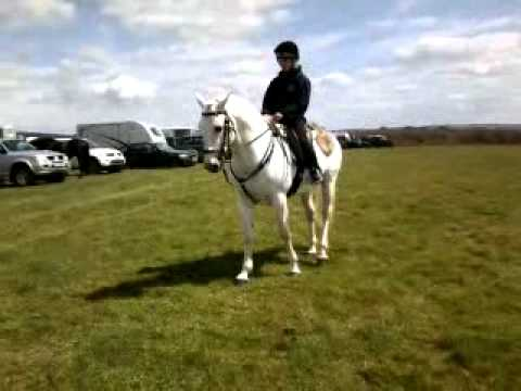 Andalusian Stallion Spanish horse riding at Golden Horse shoe with young jockey