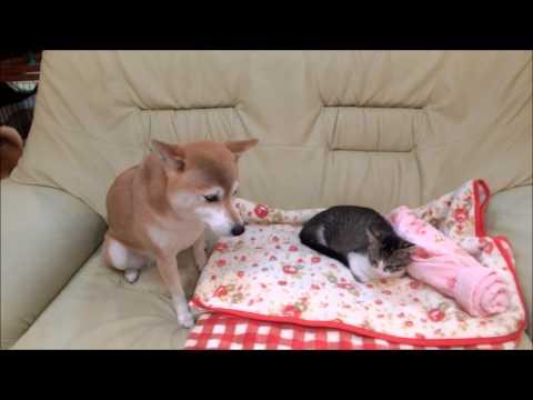 子猫の横に座りたい柴犬いちご