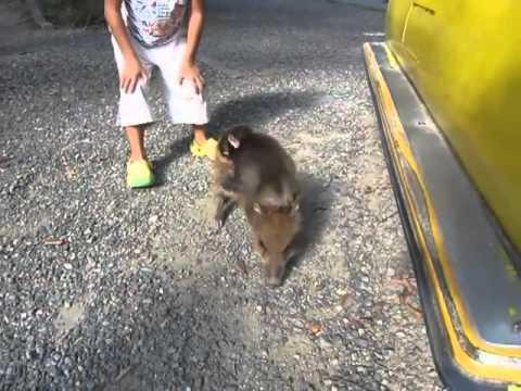 おサルのロデオ(福知山市動物園の赤ちゃんザルとウリ坊)