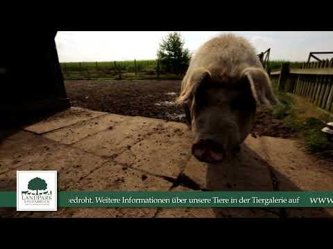 Rotbunte Husumer Schweine im LandPark Lauenbrück