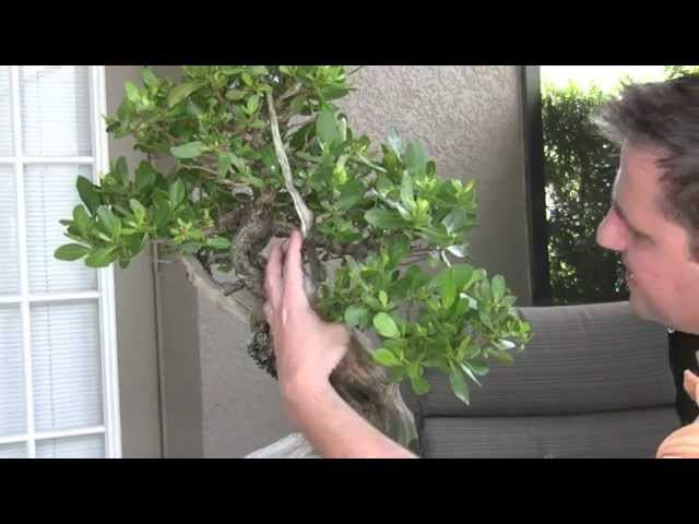 Bonsai - Refining Buttonwood Bonsai Tree