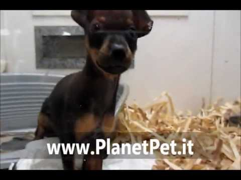 Pinscher – www.PlanetPet.it