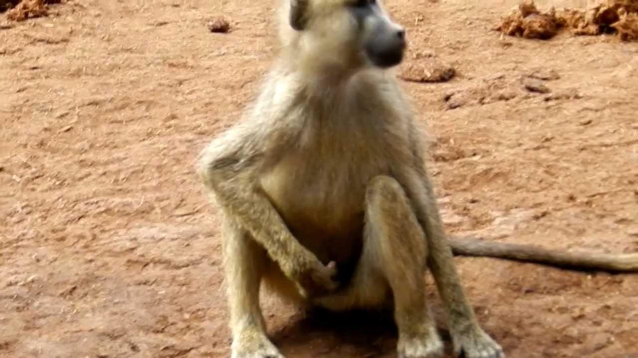 Monkey Masturbation - YouTube