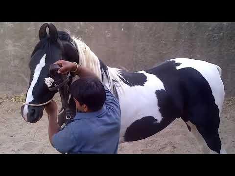 Sidhraj - Marwari Stallion - Fateh Stud Farm, Kelwa