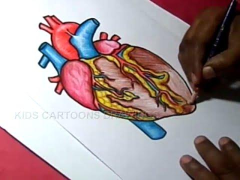 Easy Way To Draw Heart Diagram Class 10 Mv Bl Fotografie De