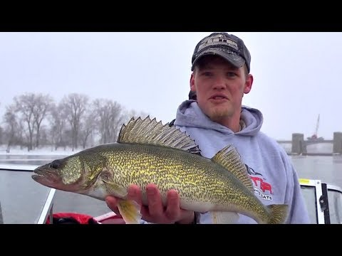 Pre-Spawn Walleye on the Mississippi River at Red Wing, MN --