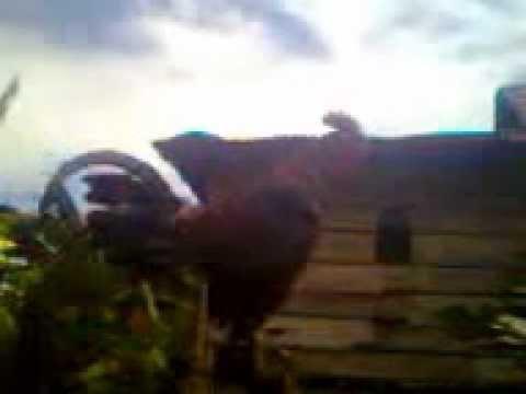Ayam Berkokok Panjang video