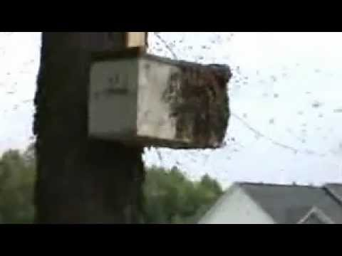Honey Bee Swarm Trap