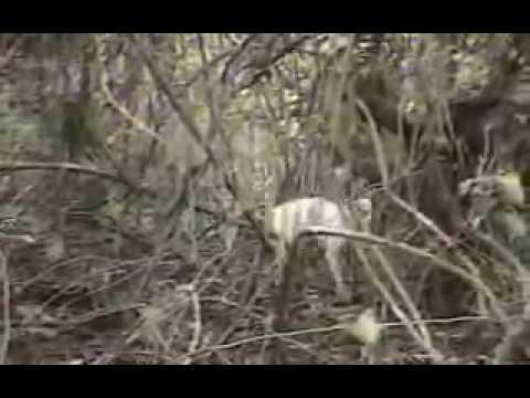 (Reportagem Globo) Caçada de Onça Pintada - Pantanal MS