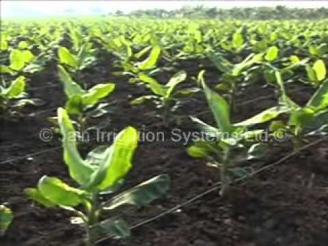 jain irrigation Banana Crop.wmv