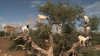 Tree-climbing goats in Morocco