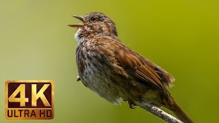 4K - Bird Song Relaxation Video, Birds Singing-Relaxing Sounds - FREE DOWNLOAD!
