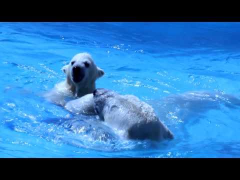 ホッキョクグマ 円山動物園 ララの赤ちゃん 泳ぐ練習?20110430