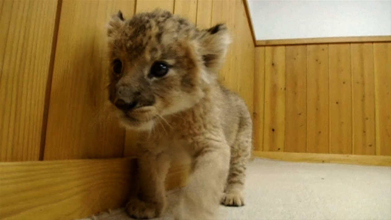 Cute Newborn Baby Lion Cubs - YouTube