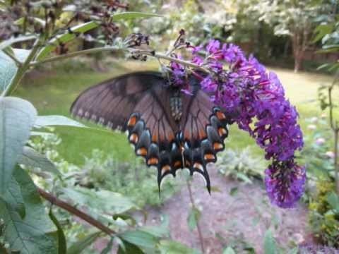 Butterfly Bush Propagation on Plant A Butterfly Haven At Home   Worldnews Com