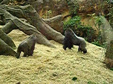 ゴリラの夫婦喧嘩。Gorilla s husband-and-wife fight. Mother is angry.