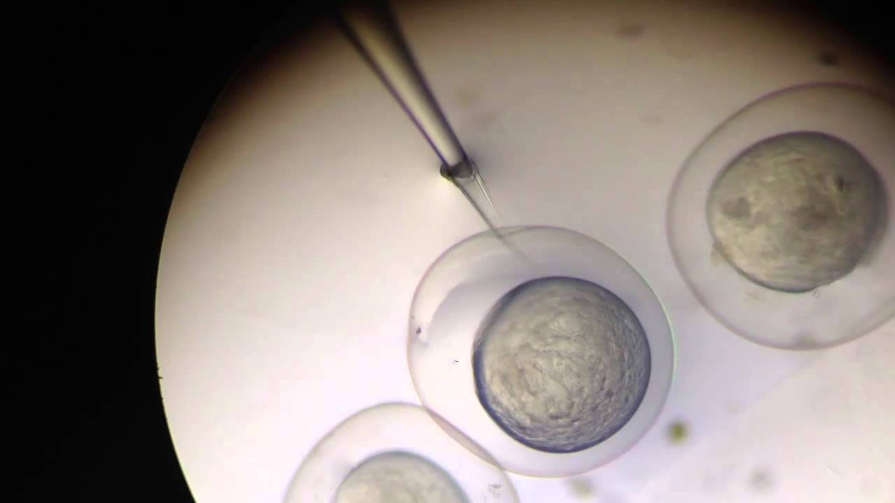 Zebrafish Embryo Injection zebrafish embryos