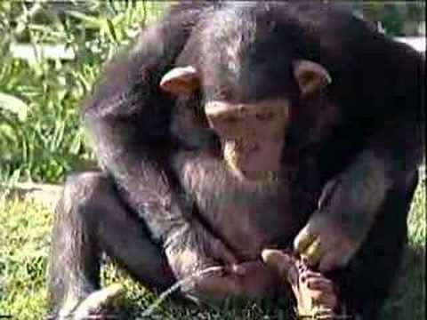 Chimp Drinking Piss video