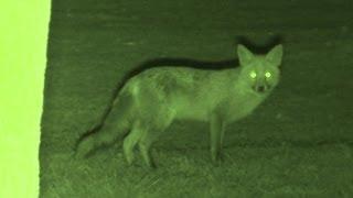 Foxing - Brilliant HD night vision fox shooting